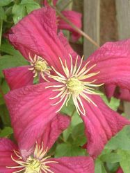 stock - clematis by dkittystockage