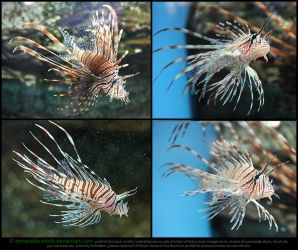 Red Lionfish Stock Pack by Esmeralda-stock