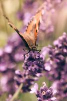 Lavender and butterfly by floratrap