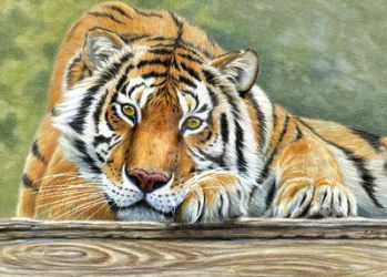 Resting Tiger by sschukina