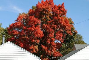 Autumn in Wisconsin: Red Maple by charliemarlowe