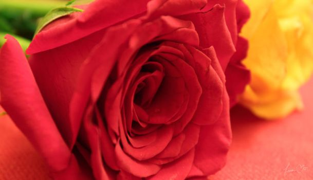 My Rose by linso2008