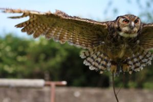 Owl in flight Close Up by James-Marsh
