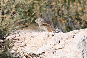 Antelope ground squirrel Profile by Monkeystyle3000