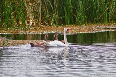 Swans by kgbphoto