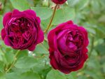 Roses by UdoChristmann