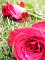 Red Rose Tears 1 by Gracies-Stock