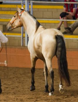 STOCK - 2014 Andalusian Nationals-181 by fillyrox