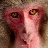 Japanese Macaque 2 by cinnabarr