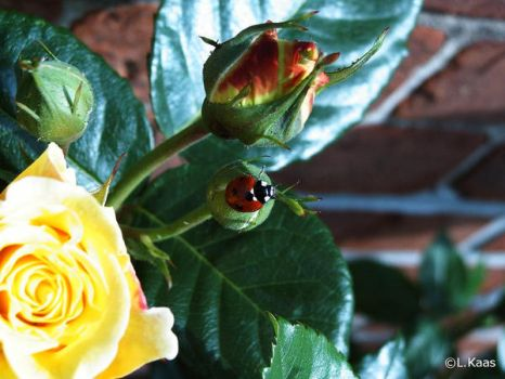 Ladybird on roses... by Lucieff