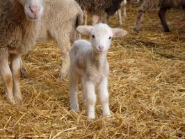 Baby sheep by Evicas