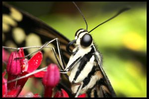 Citrus Swallowtail Butterfly 1 by Vamppy