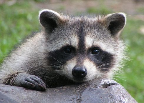 Curious coon by Henrieke