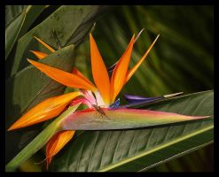 Bird of Paradise with Friend by swashbuckler