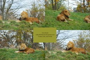 Lion Stock 1 by redwolf518stock