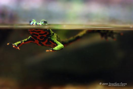 260210 Fire Belly Toad 1 by InsaneGelfling