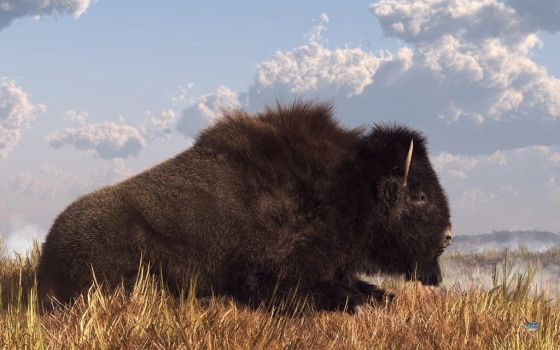 resting bison by thormanoftunder