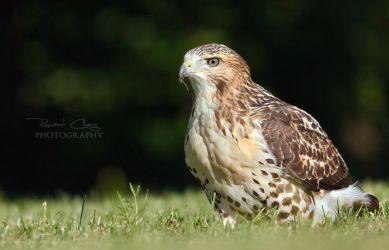 Handsome Hawk by RHCheng