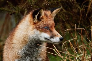 Hyper-saturated red fox by philpem