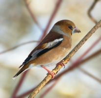 Coccothraustes coccothraustes by starykocur