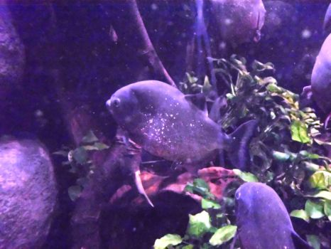 Red-bellied Piranhas by JollyStock