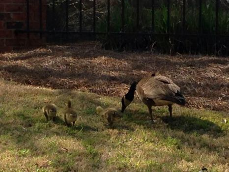 Goose and goslings by ClockworkMultiverse