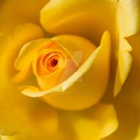 yellow rose by photographybypixie