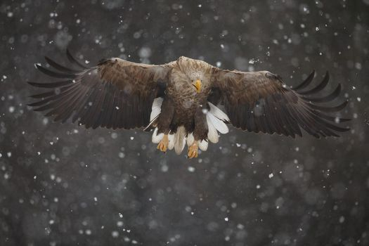 Snow-tailed eagle by BogdanBoev