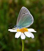 daisy and buuterfly by lisans