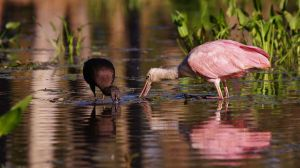 Roseate Spoonbill and Glossy Ibis - a580 by AdARDurden