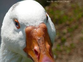 Close-up of a goose. by Bermiro