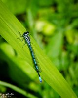 Damselfly by AstarothSquirrel