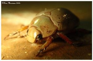 Christmas Beetle by BreeSpawn