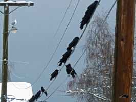Crow Convention by wolfwings1