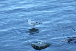 Seagull on water by gold-paroles