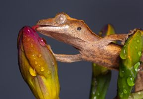 The thirsty crestie by AngiWallace