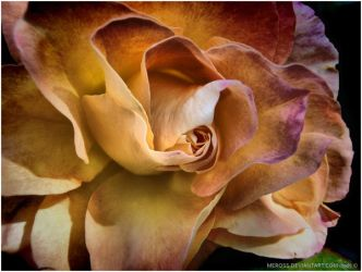 HDR Rose by meross