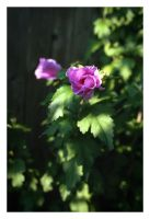 2017-268 Flowers by the fence by pearwood