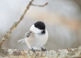 A cute Marsh tit by roisabborrar