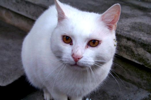 White Cat by Mortiferum