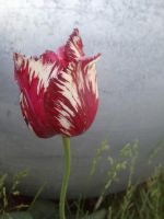 Parrot Tulip by Fear-the-cute
