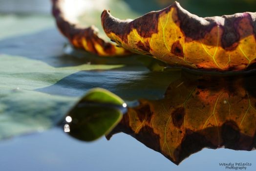 Decay of the Water Lily Pad by wendy-pellerito