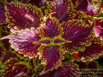 Coleus plant by TheFunnySpider