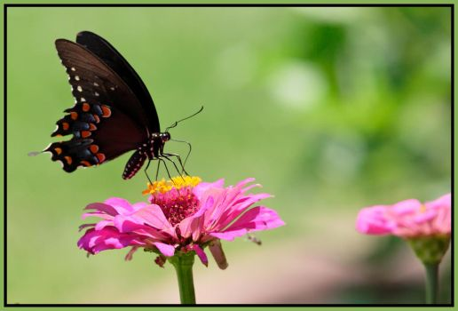 Mourning Cloak by JAHarrell