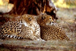 Two Cheetahs 9 by Art-Photo