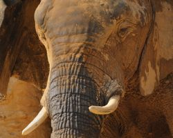 African Elephant by filthyhandss