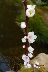 Japan Trip: Flowers by the Carp Pond by GlowingMember