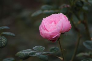 Roses in November by organicvision