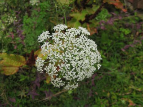 Queen Anne's Lace by Talec