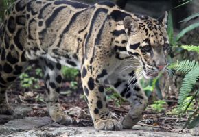 Clouded Leopard by charfade